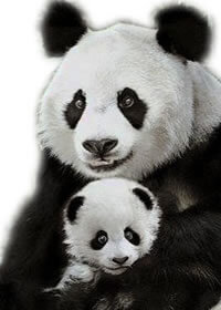 Google Pandas are breeding!
